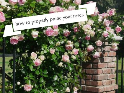 How to Properly Prune Your Roses