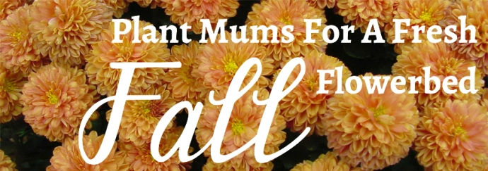 Plant Mums For A Fresh Fall Flowerbed